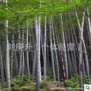 毛竹(大量批發6—15寸毛竹、毛竹原材料等,現砍)