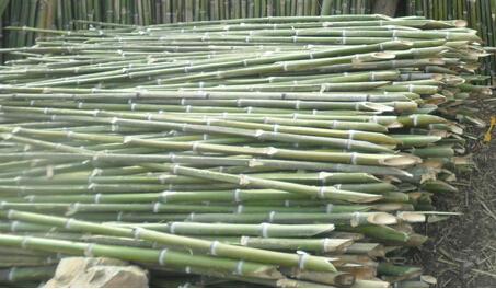 绿化园林支撑专用竹稍毛竹尾质量好价格便宜量大从优