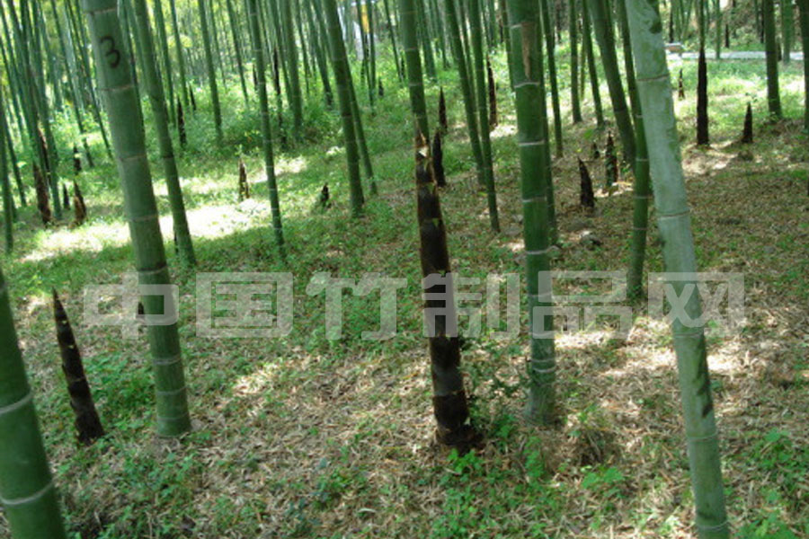 綠化苗木  楠竹