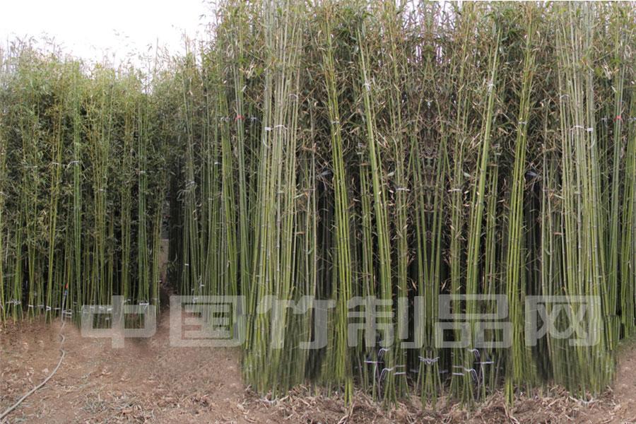 直销供应绿化竹子 毛竹