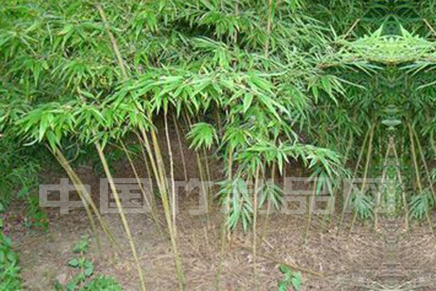 直銷供應綠化竹子 毛竹